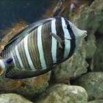 Рыба-хирург Zebrasoma sp.