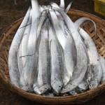 Рыба-сабля Trichiurus lepturus