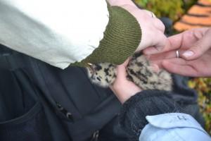 Кольцевание чаячьих птенцов